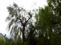 Bayreuther Baumpflege - Baumfällung_05