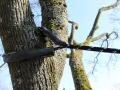 Bayreuther Baumpflege - Kronensicherung Nahaufnahme