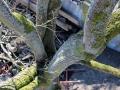 Bayreuther Baumpflege - Kronensicherung einer Schadstelle