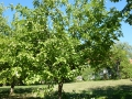 Obstbaumschnitt_03